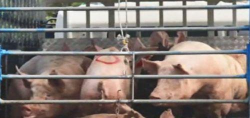 아프리카돼지열병 <사진: SBS>